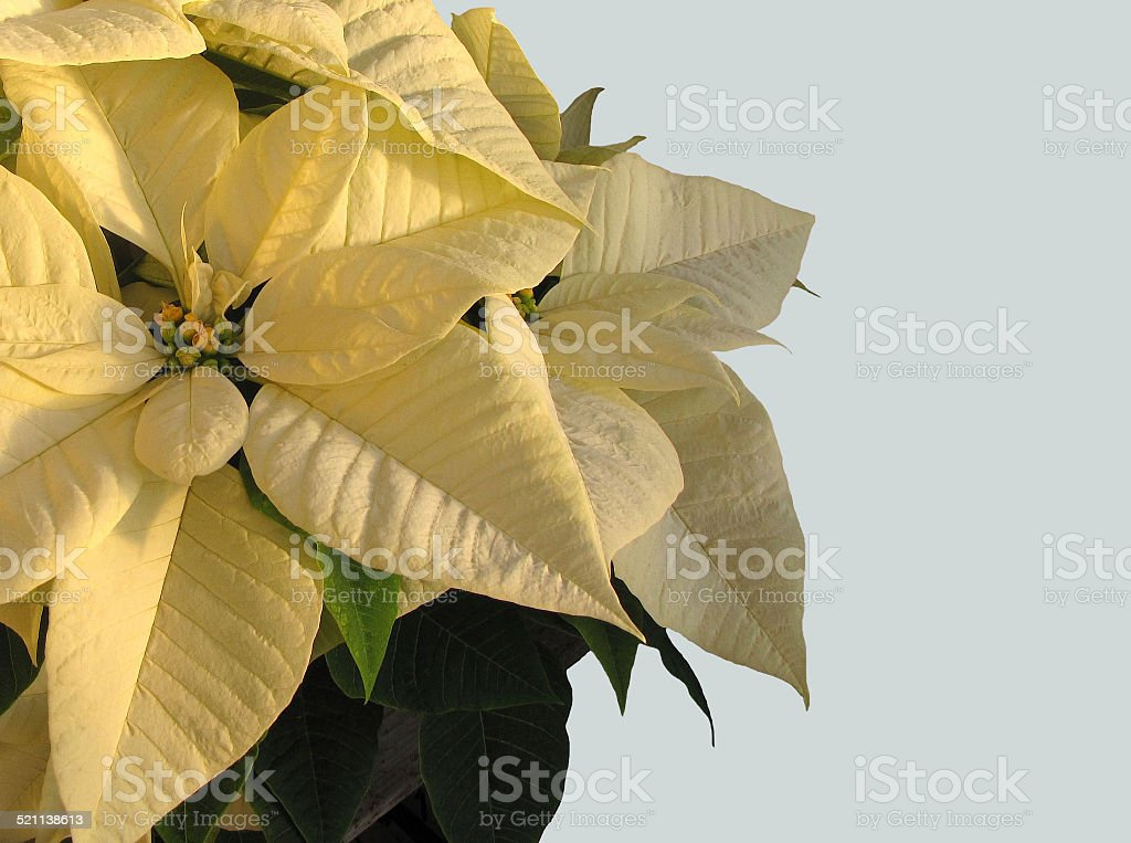 Yellow Poinsettia Flower and Plant at Christmas Time stock photo