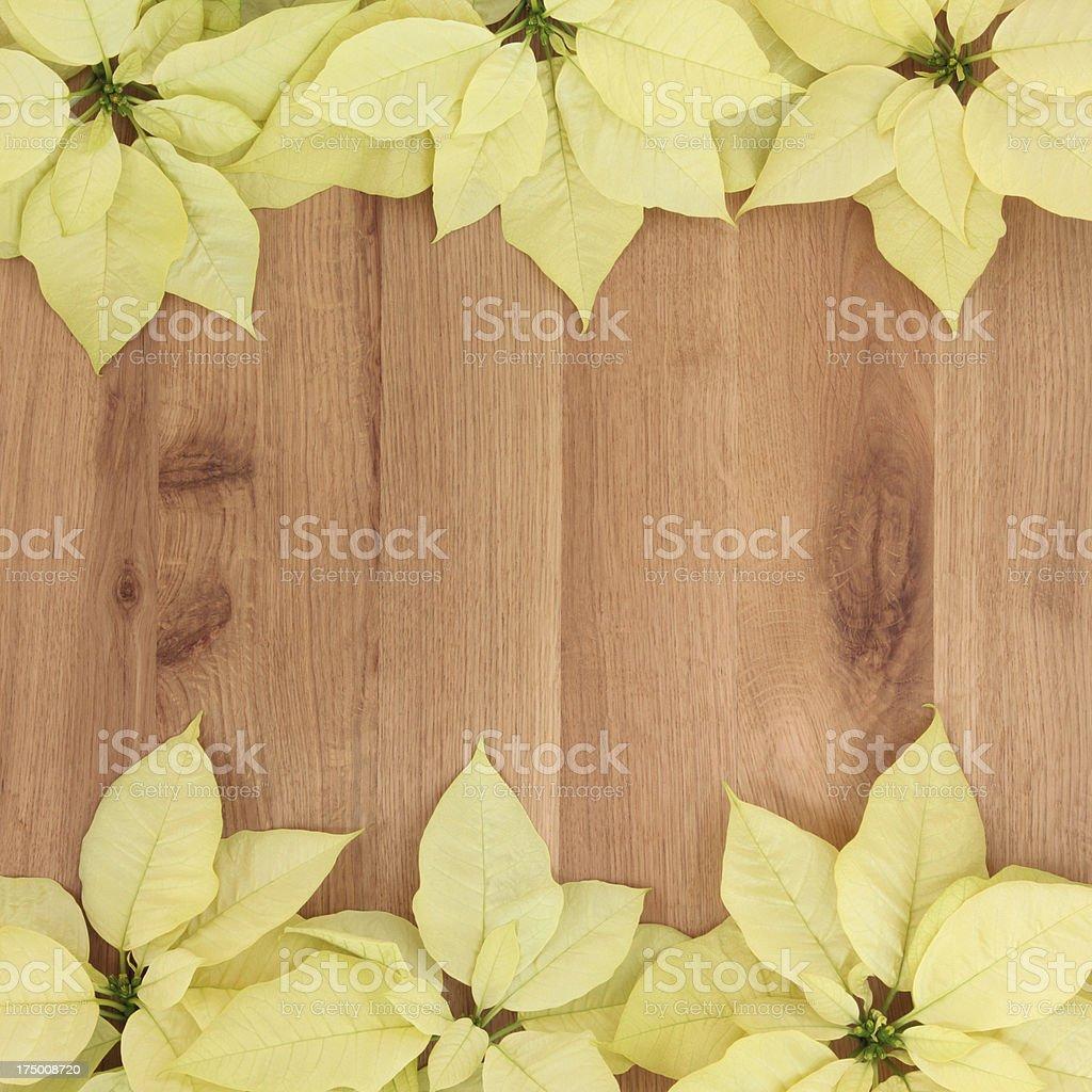 Yellow Poinsettia Flowers royalty-free stock photo