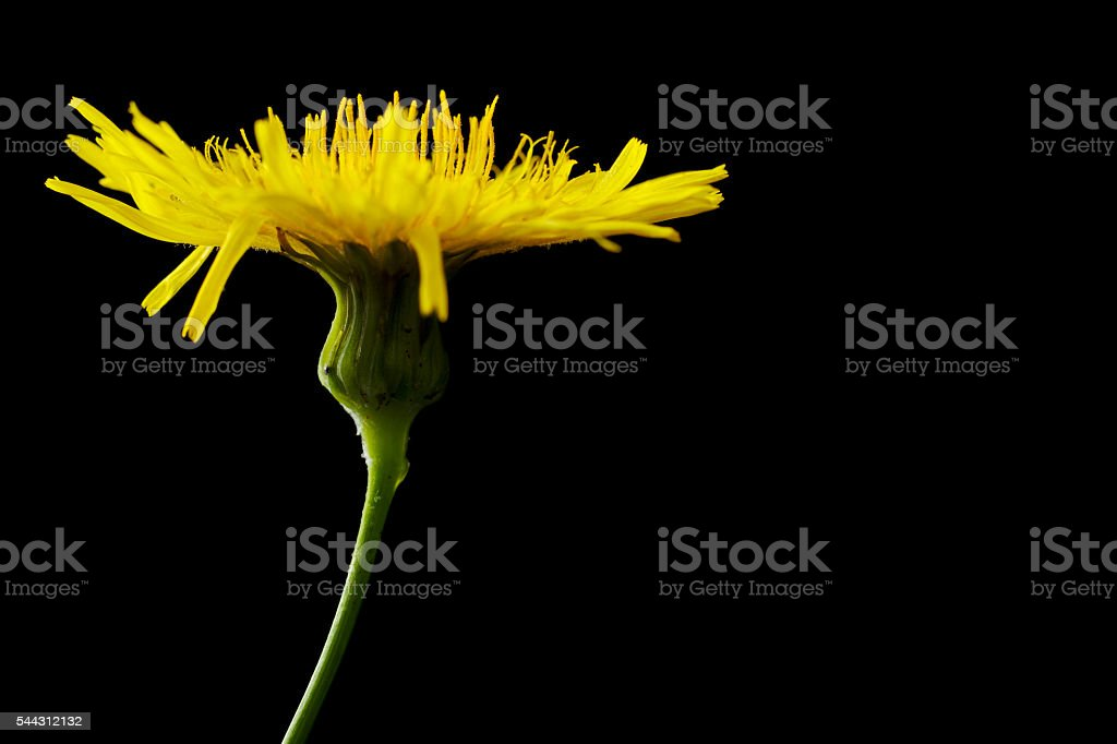 Yellow poisonous wildflower on black as sonchus arvensis stock photo