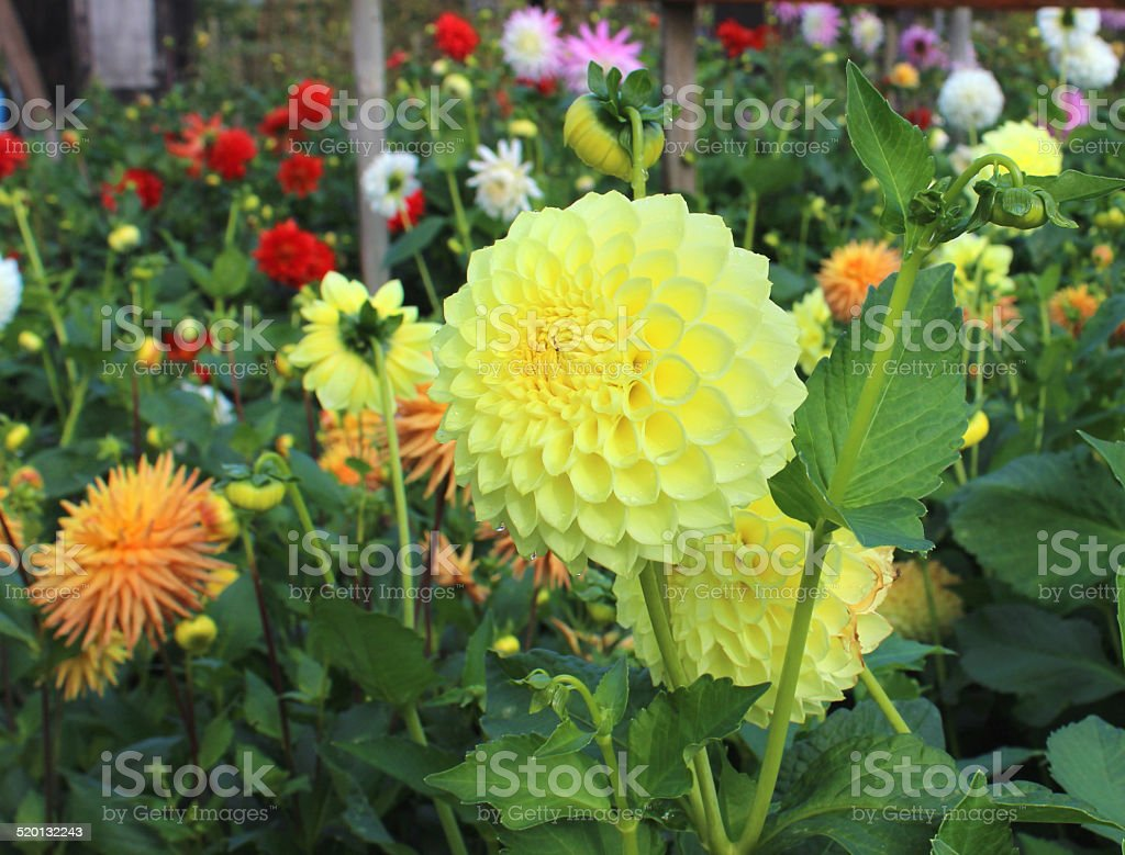 Yellow pompon dahlia flowers (ball dahlias), flowering in summer garden stock photo