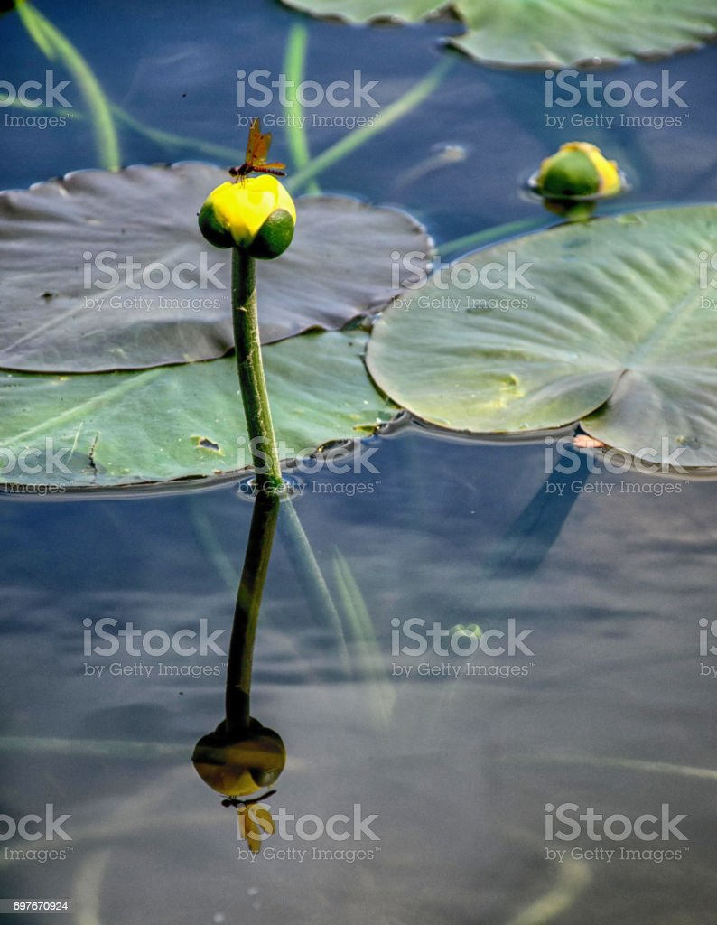 A Yellow Pond Lily stock photo