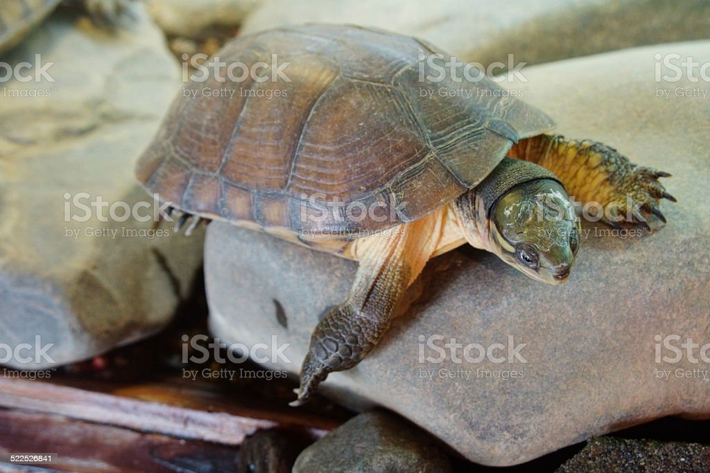 Yellow Pond Turtle stock photo