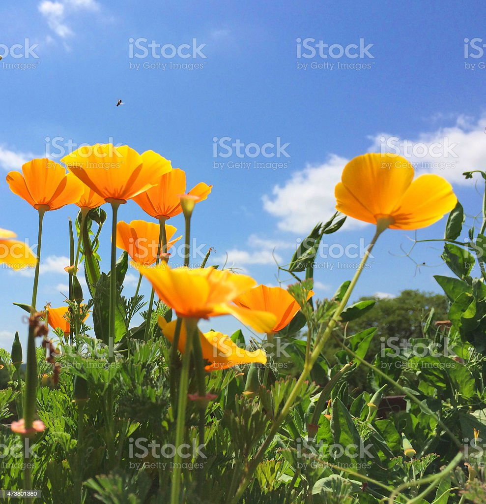 Yellow Poppies Against Blue Sky with Bee stock photo