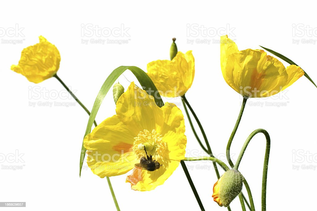 yellow poppies and bee royalty-free stock photo