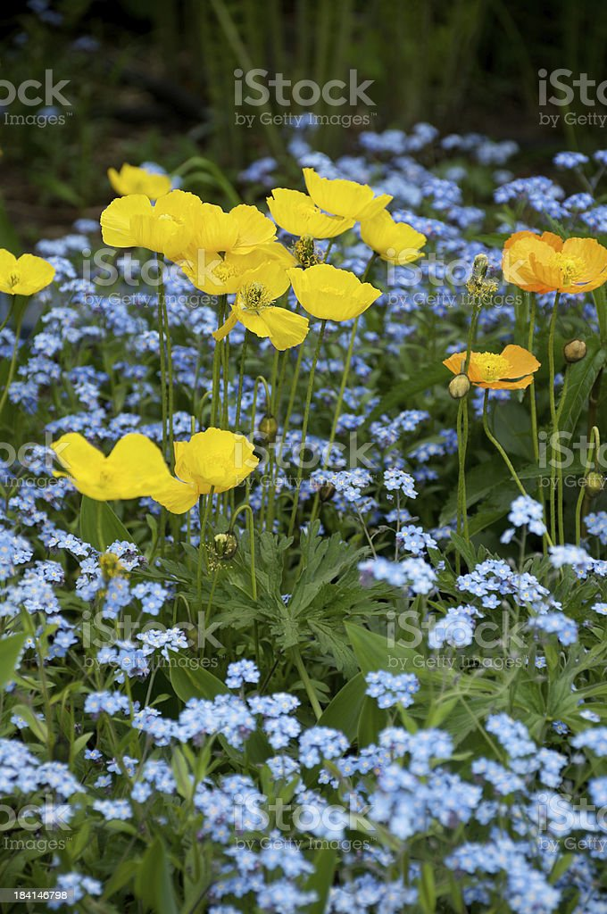 Yellow poppies in forget-me-nots. royalty-free stock photo