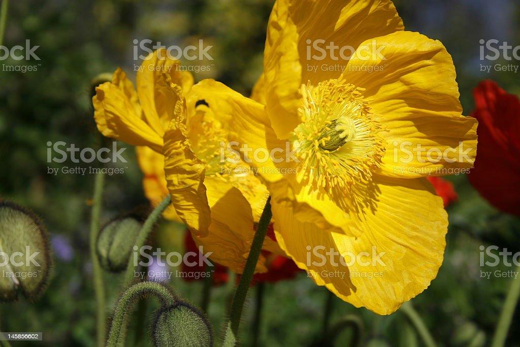 Yellow Poppies royalty-free stock photo