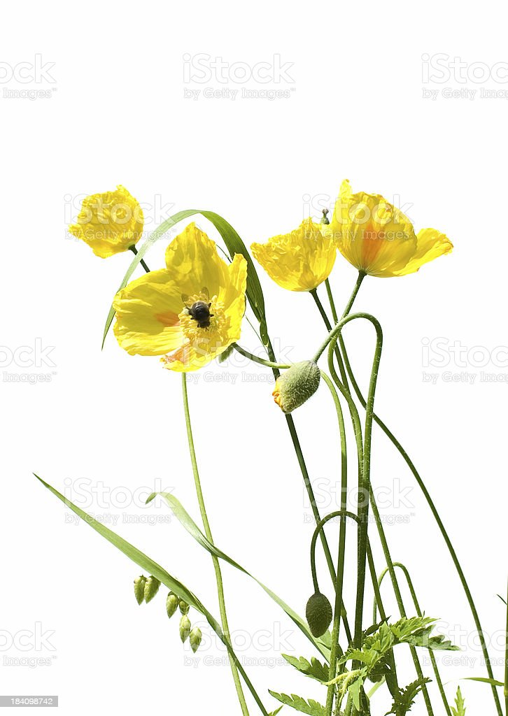 yellow poppy and bee royalty-free stock photo