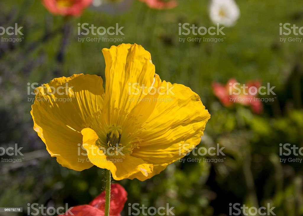 Yellow Poppy stock photo