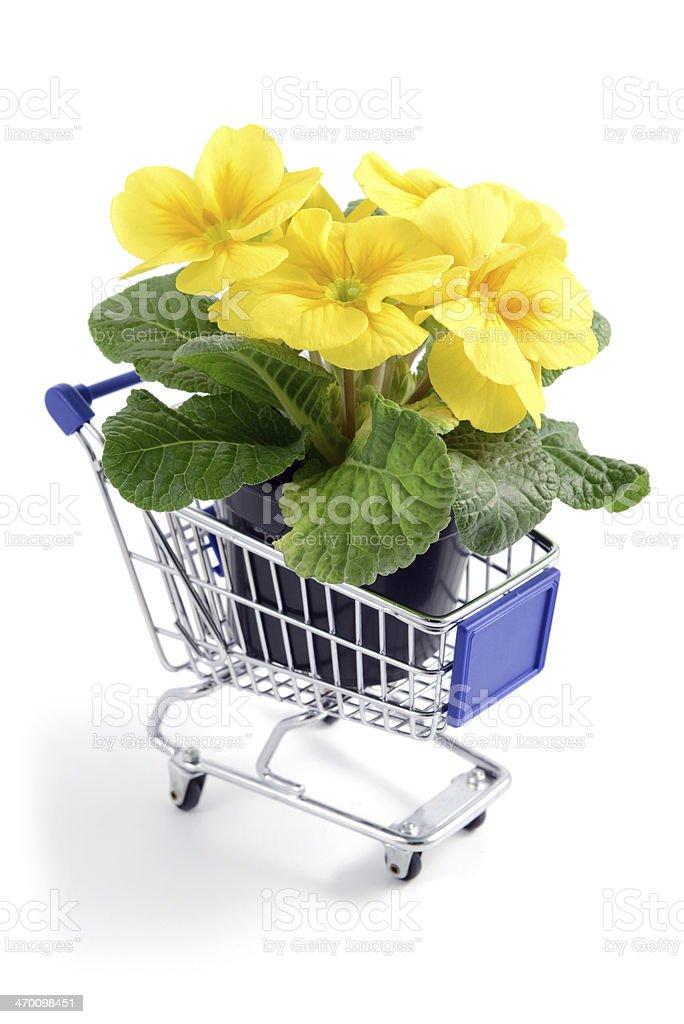 yellow primrose in flower pot at shopping cart royalty-free stock photo