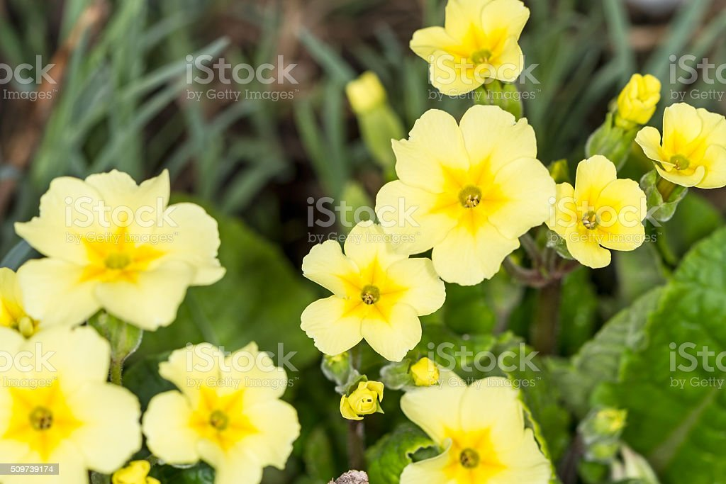 Yellow Primroses on a bed stock photo