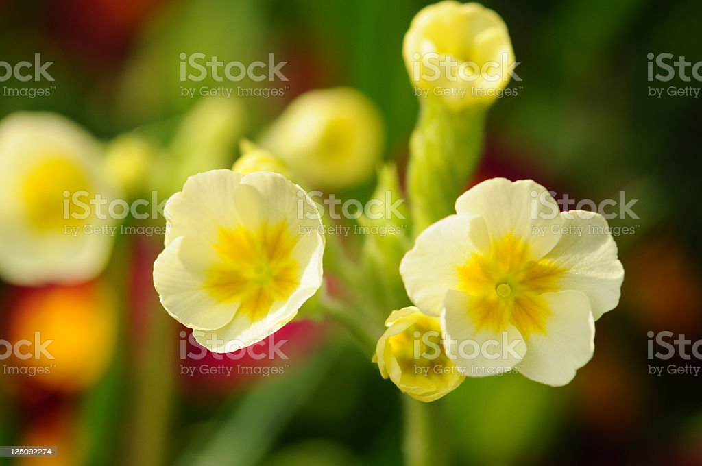 yellow Primula (Temperate Flower) stock photo