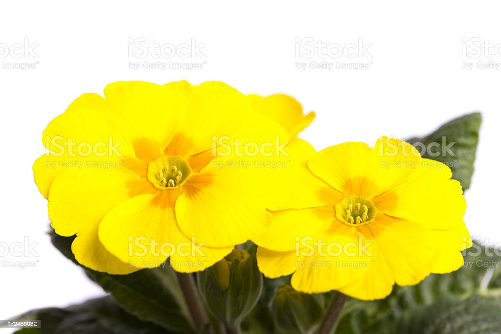 yellow primula royalty-free stock photo