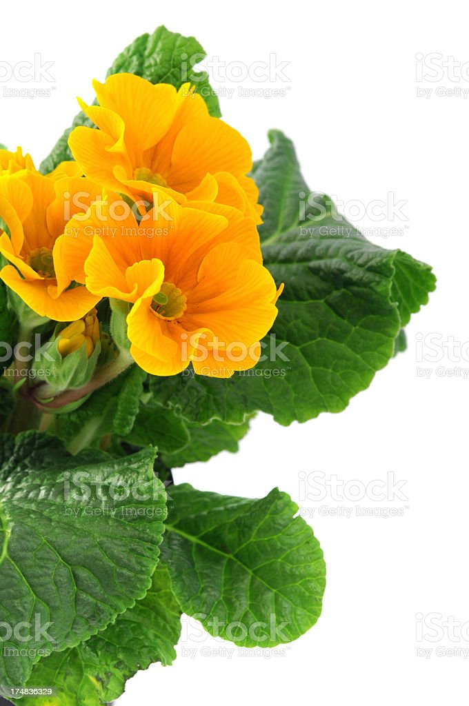yellow Primula Primrose (Temperate Flower) royalty-free stock photo