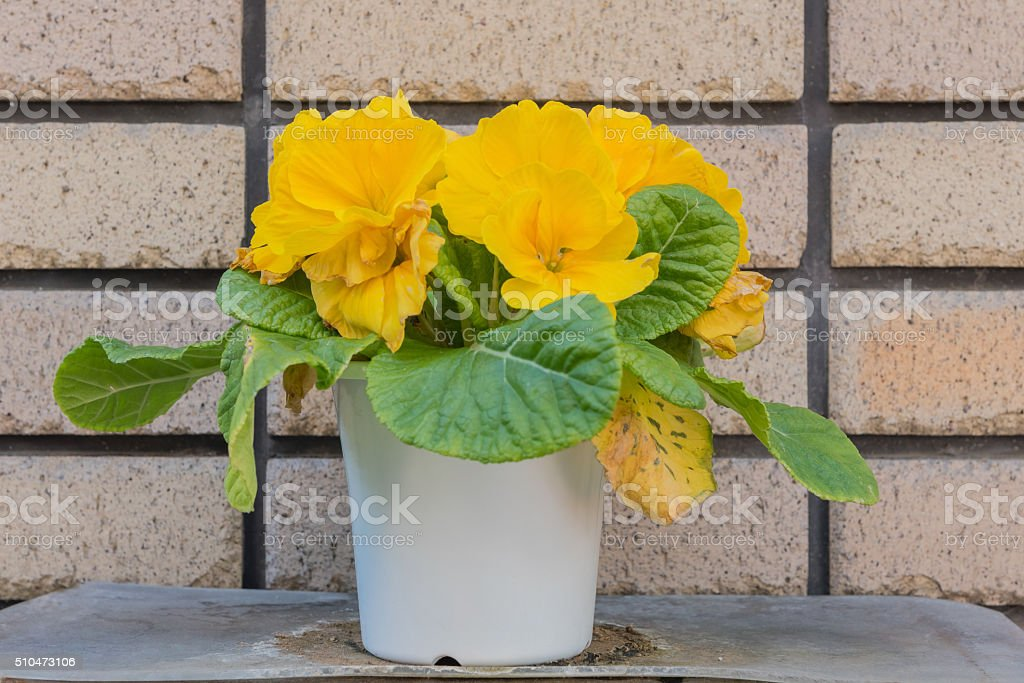 Yellow primulas flowers in pot, street decoration in Tokyo, Japan. stock photo