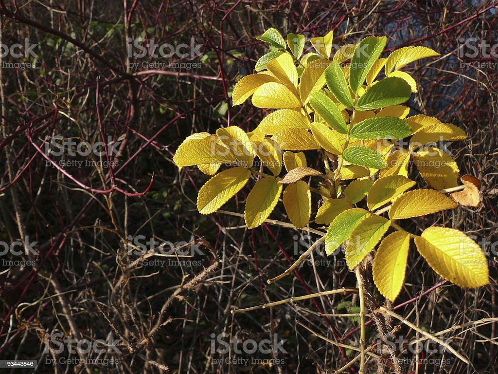 yellow, protruding leaves in thornbush stock photo