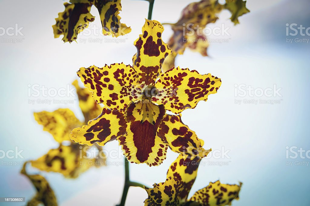 Yellow Psychopsis royalty-free stock photo