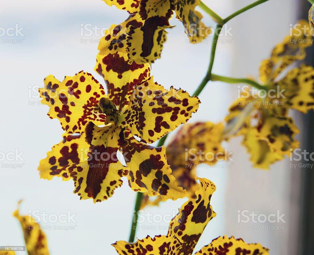 Yellow Psychopsis royalty-free stock photo