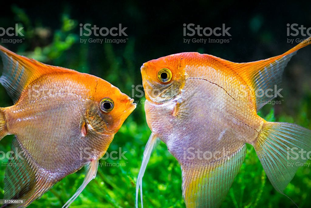 Yellow Pterophyllum Scalare fish kissing underwater stock photo