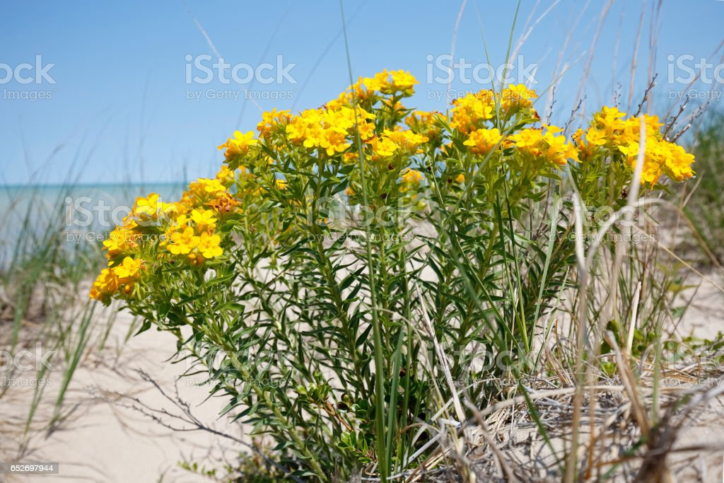 Yellow Puccoon on a Lake Huron sand dune - Ontario stock photo