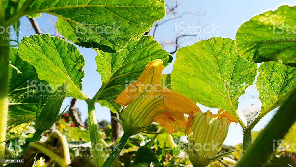 Yellow pumpkin flowers royalty-free stock photo