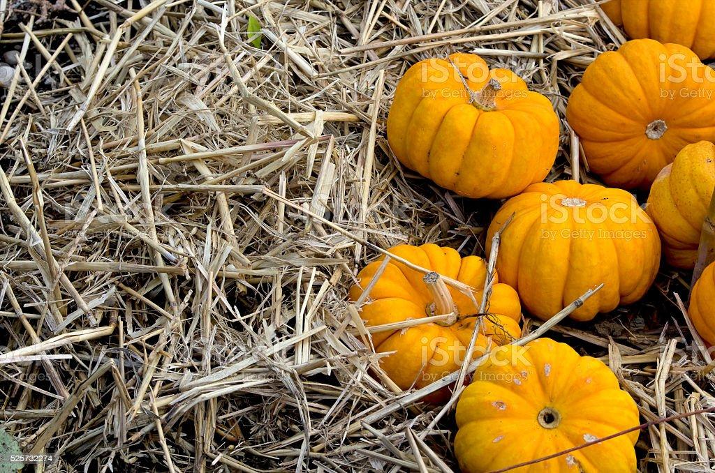 Yellow pumpkins on straw royalty-free stock photo