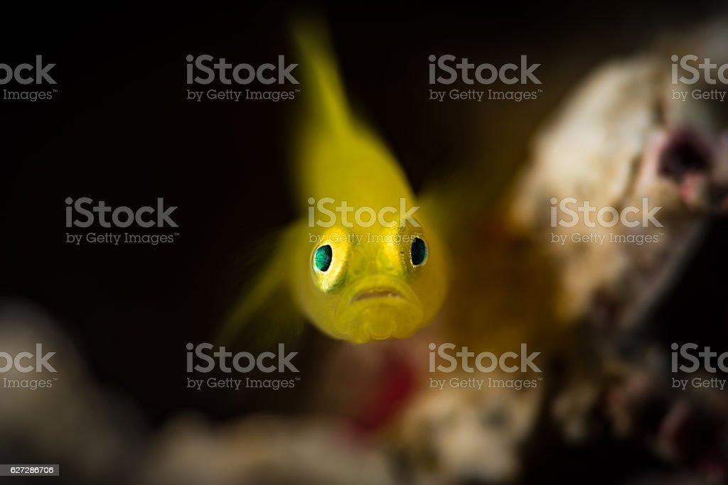 Yellow Pygmy Goby (Lubricogobius exiguus), front view stock photo