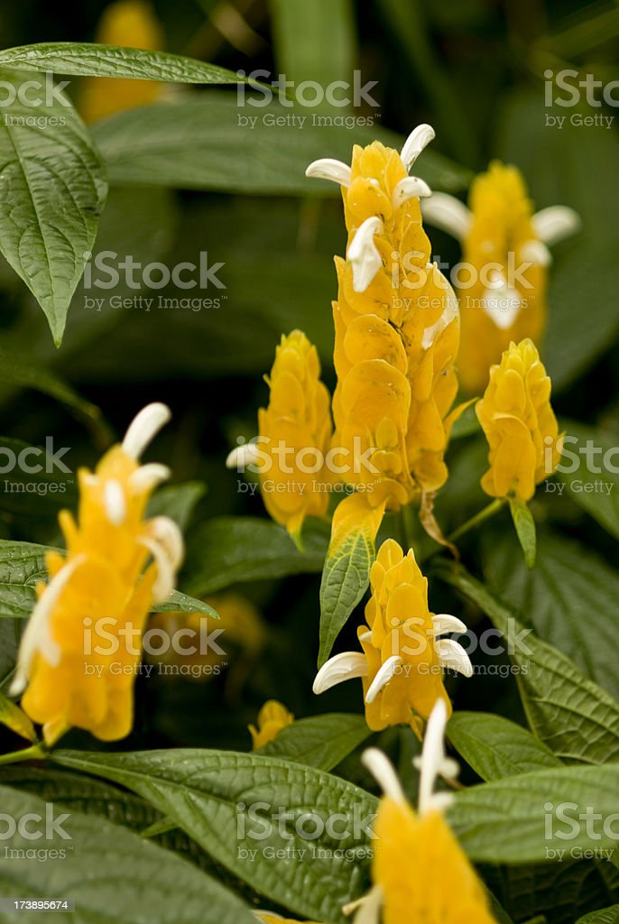 Yellow Queen Shrimp stock photo