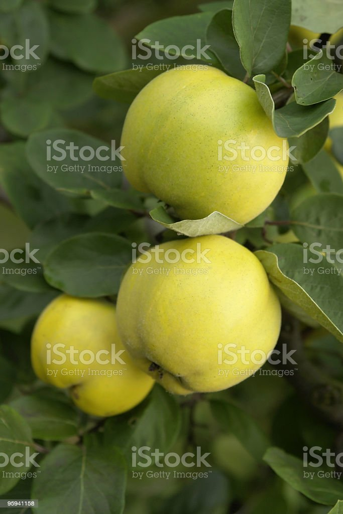 yellow quinces and green leaves royalty-free stock photo