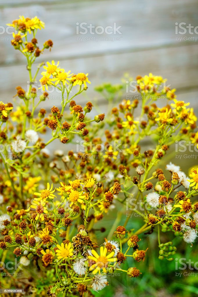 Yellow ragwort flowers in Welsh countryside stock photo
