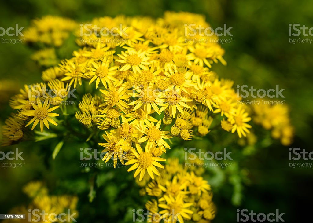 Yellow Ragwort stock photo