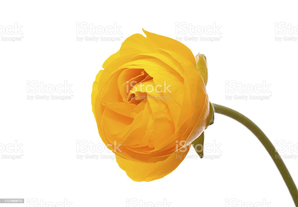 Yellow ranunculus flower stock photo