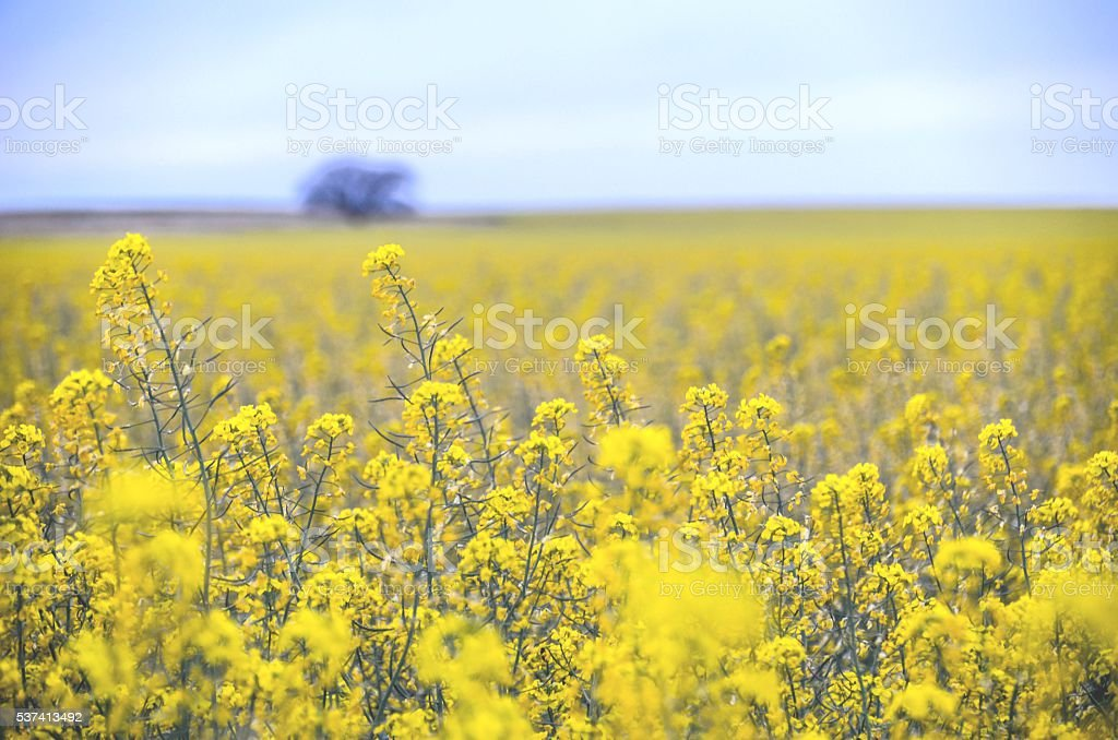 Yellow Rape Field Blossoms Bokeh Background stock photo