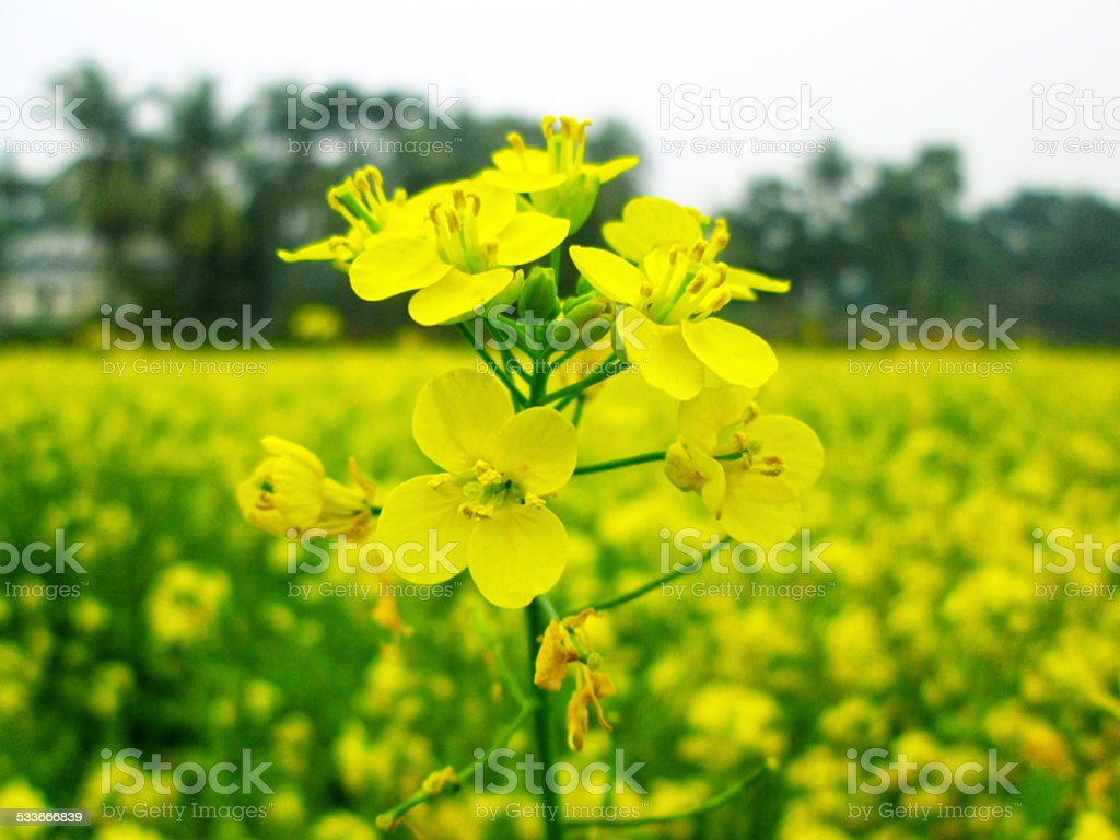 Yellow rapeseed field on a sunny day stock photo