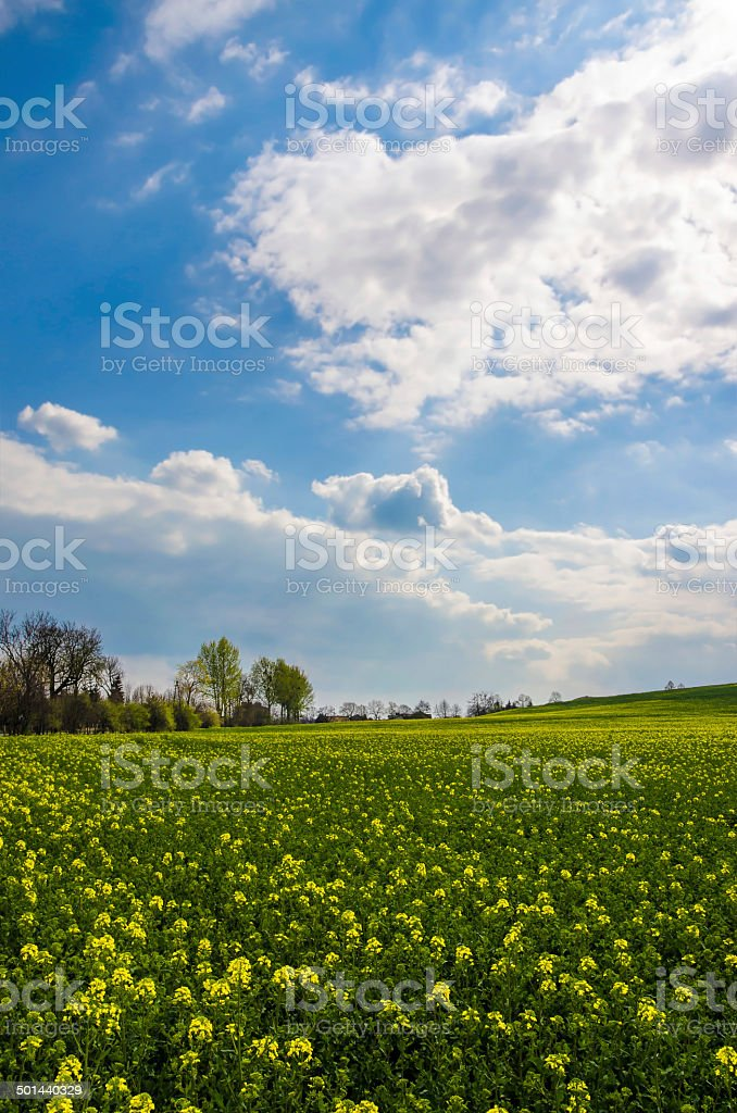 Yellow rapeseed field royalty-free stock photo