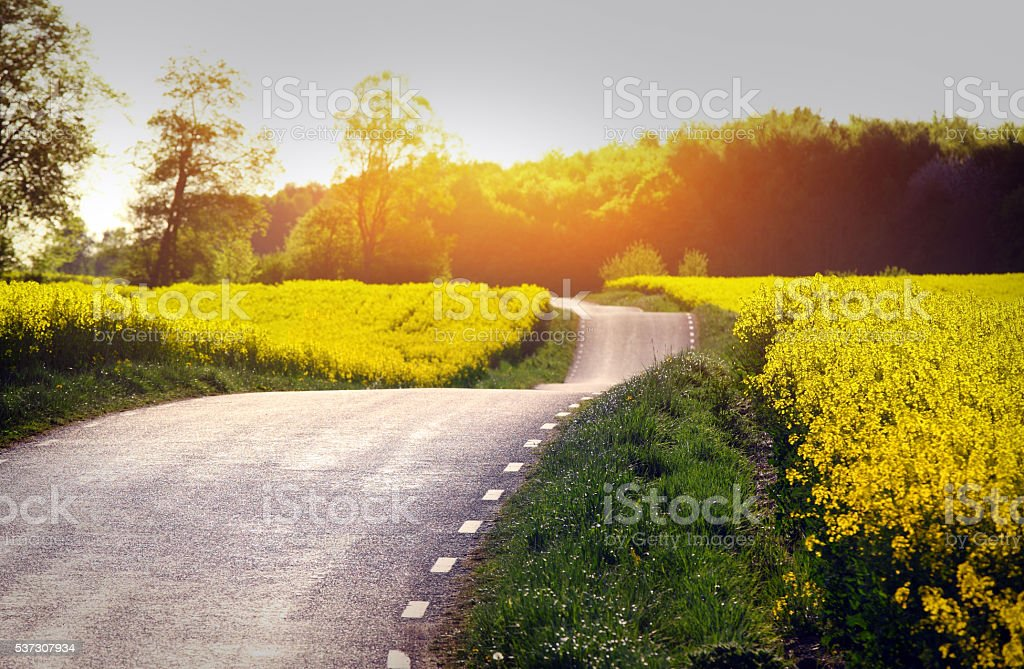 Yellow rapeseed field stock photo