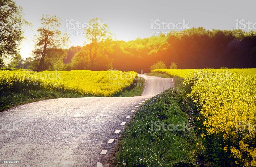 Yellow rapeseed field stock photo