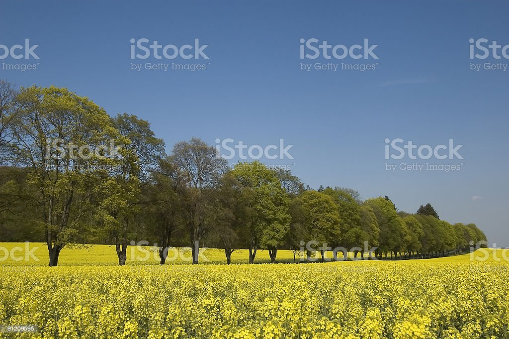 Yellow rapeseed field with alley stock photo