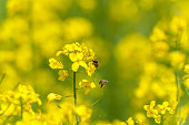 Yellow Rapeseed Field with bee. Landscape. Rural area.