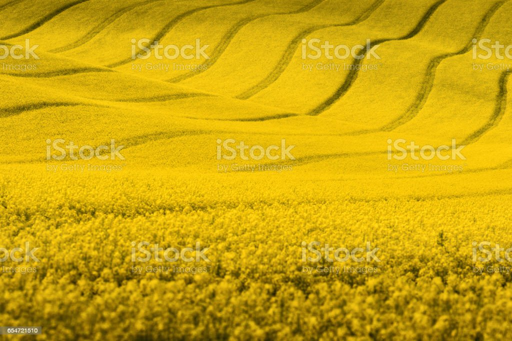 Yellow rapeseed field with wavy abstract landscape pattern stock photo