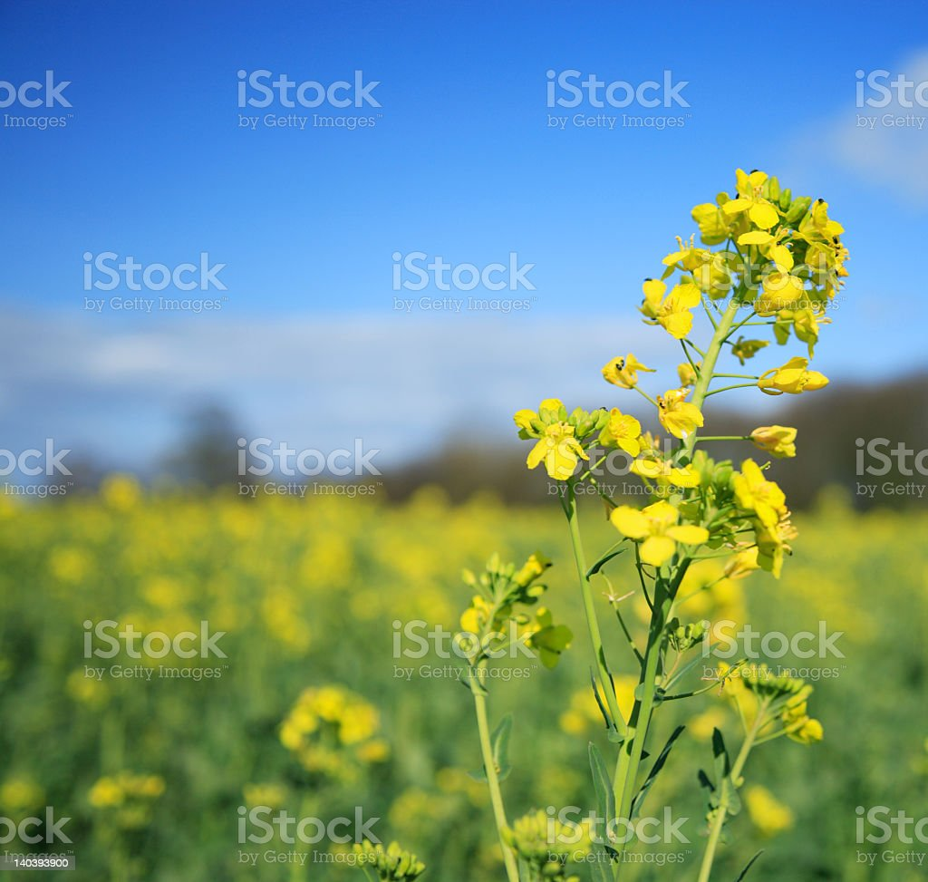 Yellow Rapeseed flower against a blue sky stock photo