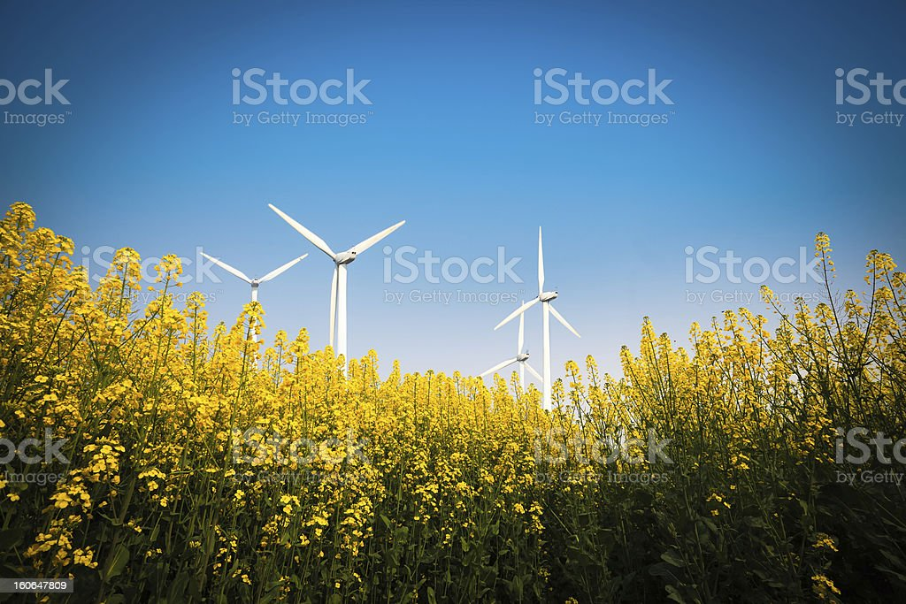 yellow rapeseed flower and wind energy royalty-free stock photo