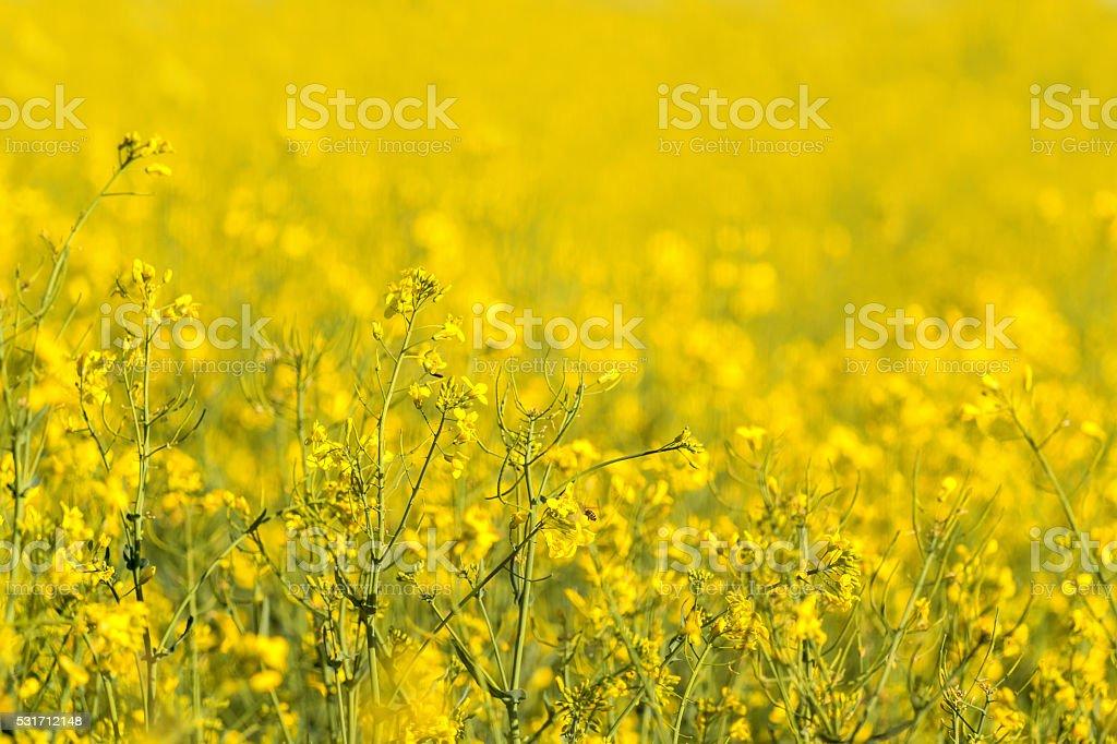yellow rapeseed flowers stock photo
