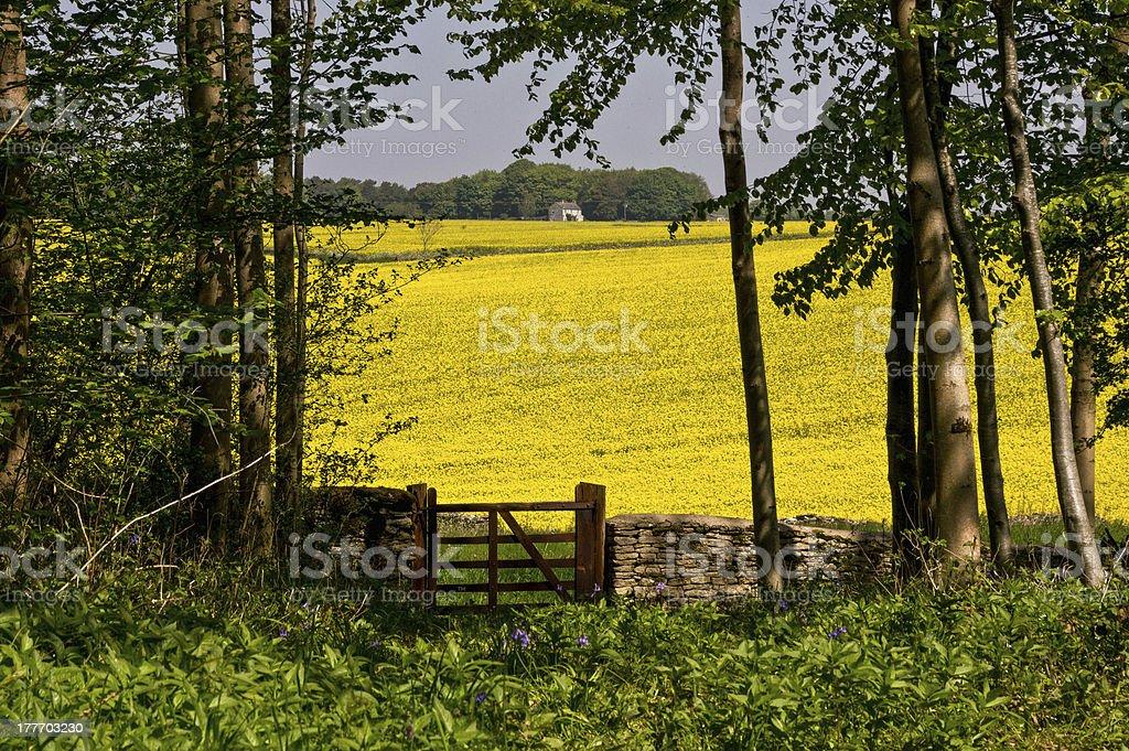 Yellow Rapeseed (Oilseed rape) royalty-free stock photo