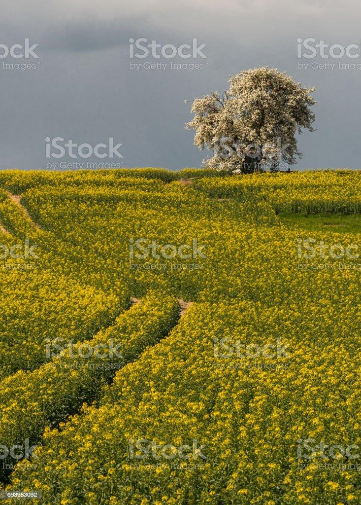 Yellow raps field with tree stock photo