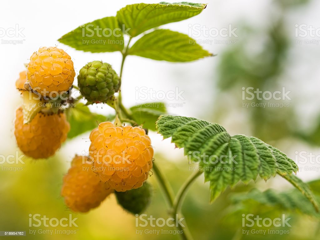 Yellow Raspberry royalty-free stock photo