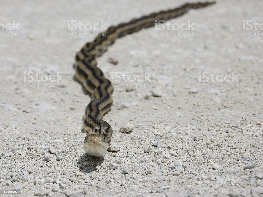 Yellow Rat Snake Up Close royalty-free stock photo
