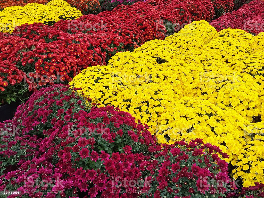Yellow, red and purple chrysanthemums stock photo
