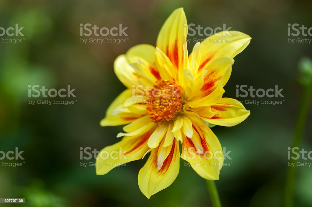yellow red dahlia flower in a garden stock photo