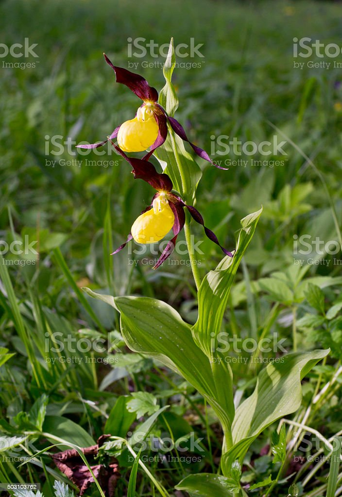 Yellow, red petals blooming flower. Lady's Slipper Orchid, Cypripedium calceolus. stock photo