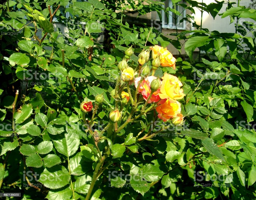 Yellow- Red Roses in a Garden stock photo